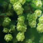 How to Grow Your Own Beer Hops