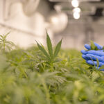 When it Comes to Cannabis, Researcher Linda Klumpers Wants People to Pay Attention to the Science