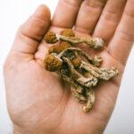 UVM Cannabis Programs to Shed Light on Psilocybin