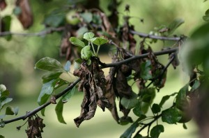 800px-Apple_tree_with_fire_blight