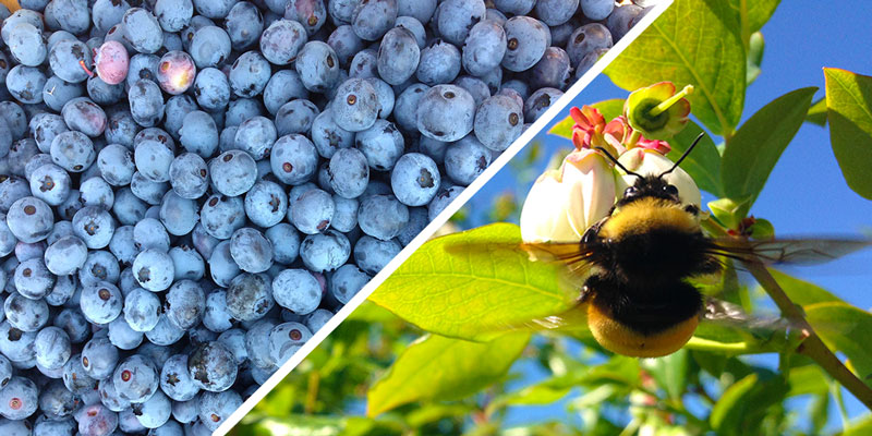 wild bees help berry production
