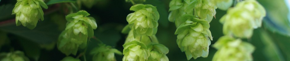 how-to-grow-your-own-hops