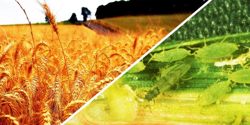 Gund crop study