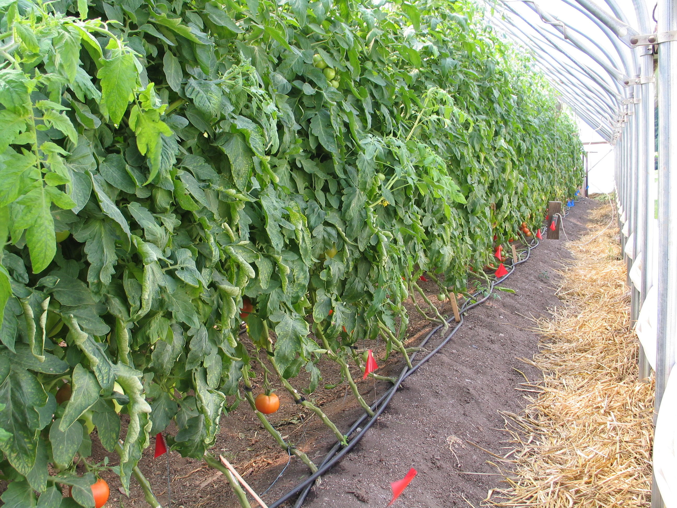 Tomatoes Are Growing in Vermont Greenhouses - UVM Food FeedUVM Food Feed