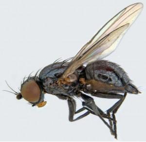 Bean fly