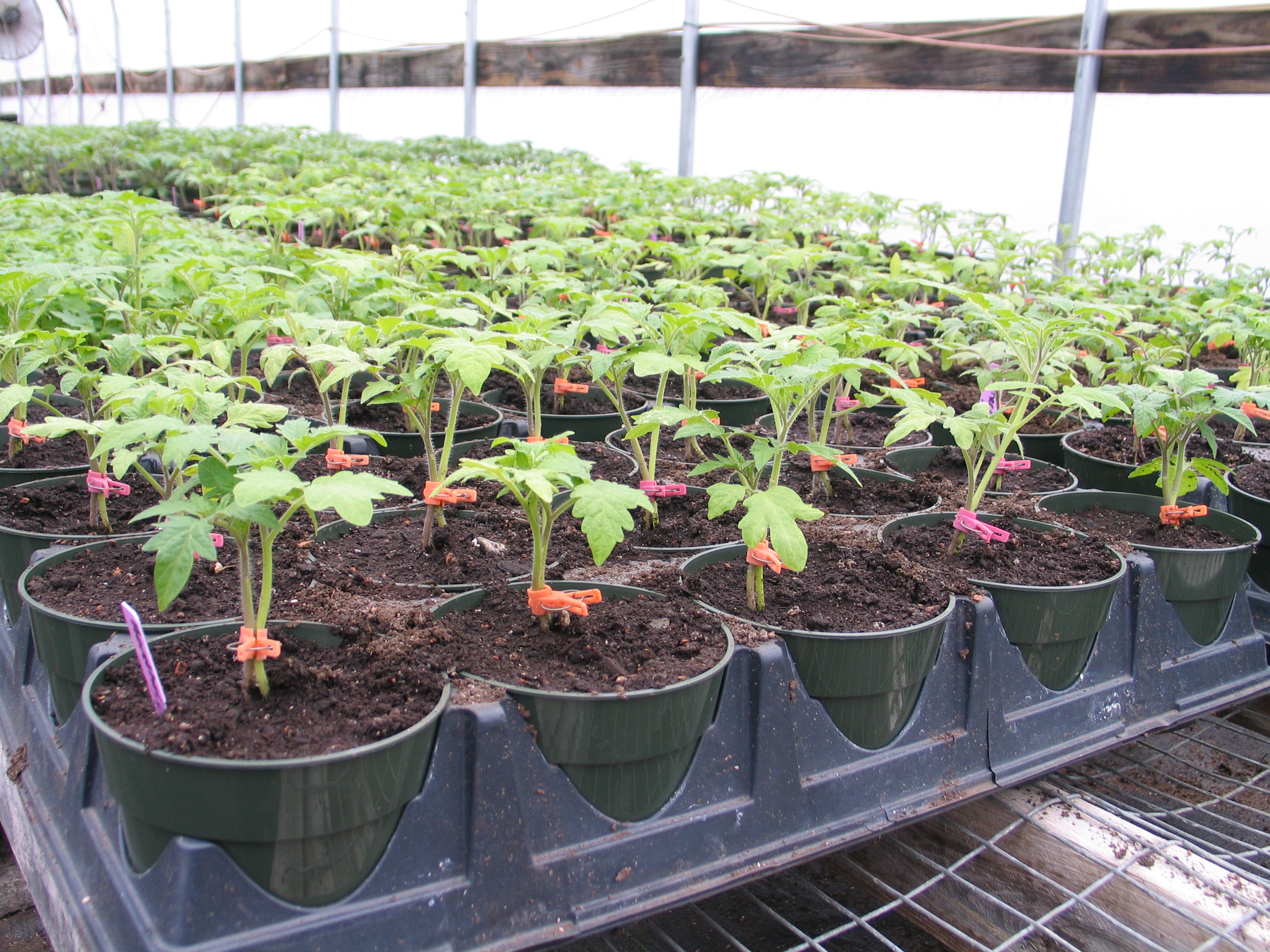 Tomatoes Are Growing in Vermont Greenhouses - UVM Food