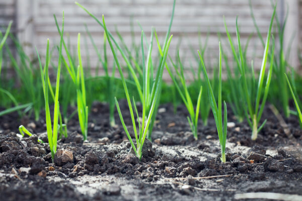 Green onion grows in the rural sunny garden in the summer. Healthy ecological harvest.