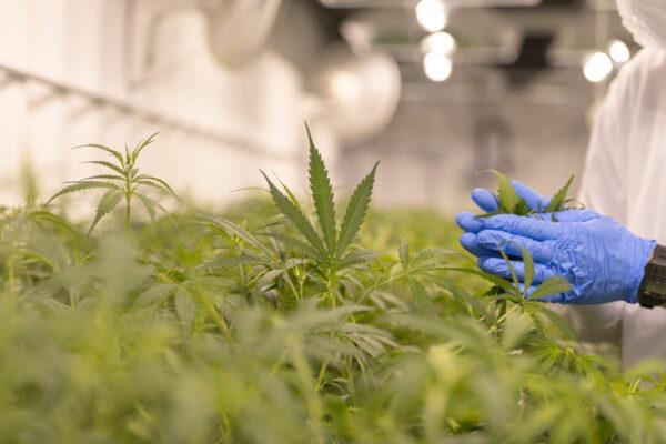 Cannabis farm quality control