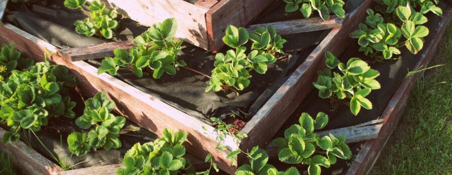 Strawberries in raised garden bed. Pyramid raised garden