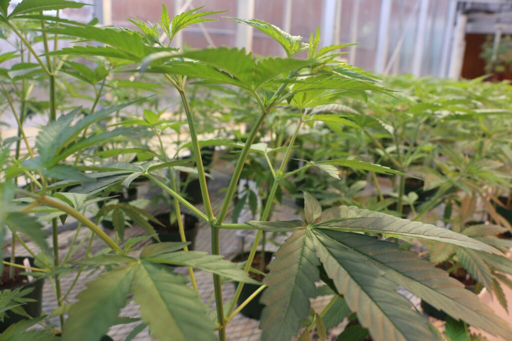 Cannabis Science and Medicine Professional Certificate