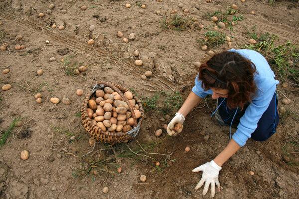 Potato Harvesting and girl
