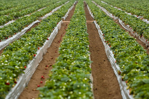 Rows of planted greens on a farm