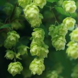 how-to-grow-hour-own-beer-hops