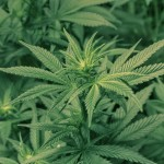 A Shift in Public Opinion on the Legalization of Marijuana